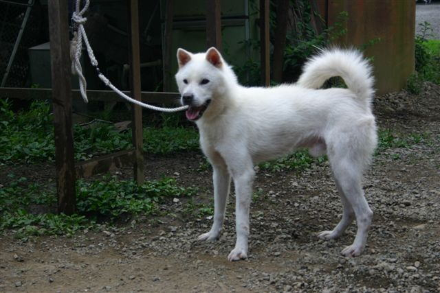 紀州犬の画像 p1_2