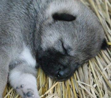 紀州犬の画像 p1_22