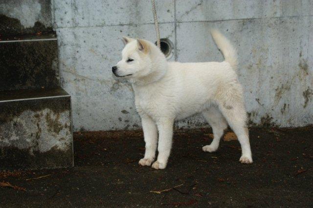 紀州犬の画像 p1_18