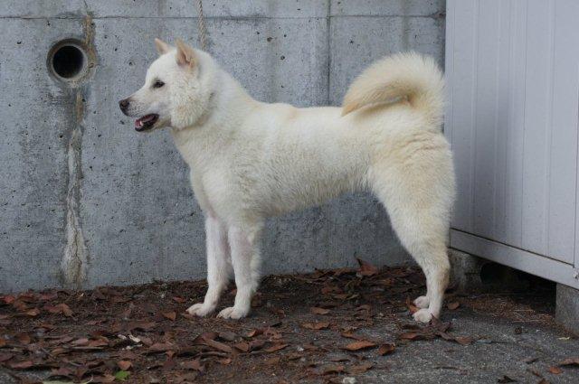 紀州犬の画像 p1_33